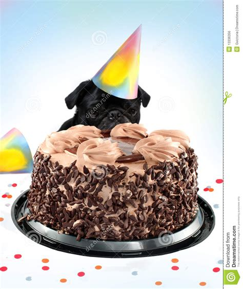 pug birthday cake royalty  stock image image