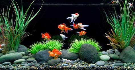 Lu Untuk Akuarium Kecil cara memilih hiasan untuk akuarium akuarium koki