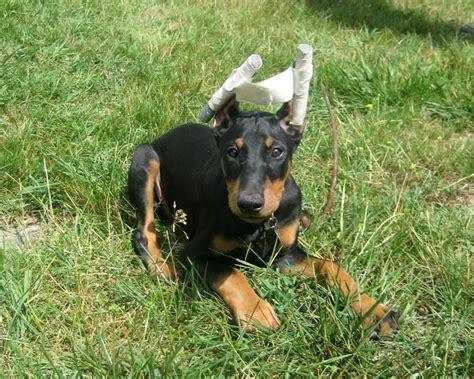 doberman puppy cropped ears file doberman earstaped jpg wikimedia commons