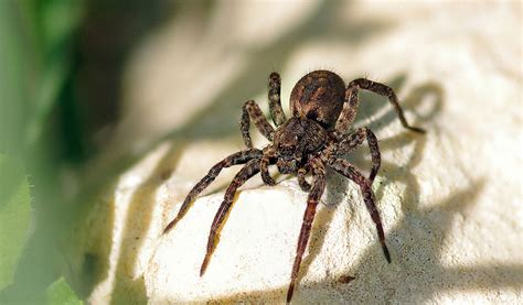 Garden Spider Habits Wolf Spiders Facts Venom Habitat Information
