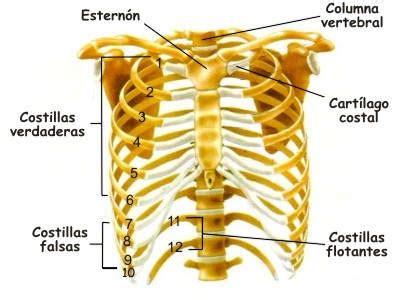costillas del cuerpo humano 191 para qu 233 sirven las costillas en el ser humano funci 243 n