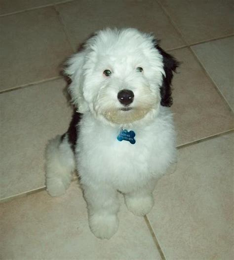 mini sheepadoodle puppies for sale sheepadoodle breeders breeds picture