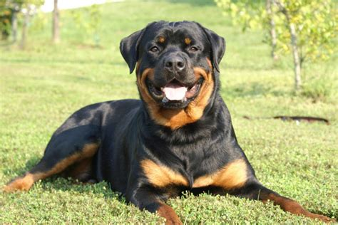 rottweiler dogs for sale rottweiler puppies for sale from reputable breeders