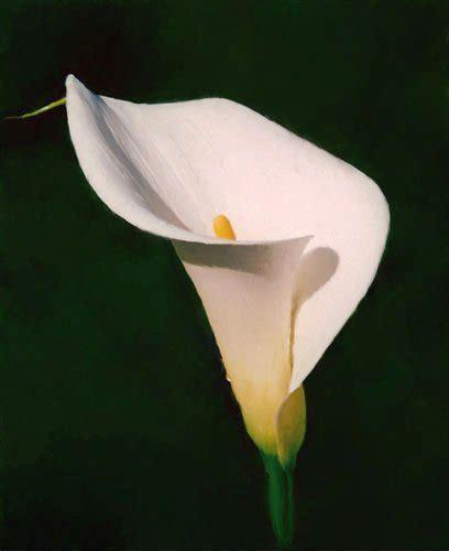 summer flower calla lily