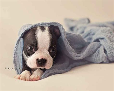 newborn puppy photoshoot 17 best images about pics on lab puppies german shepherd puppies and