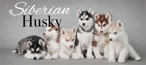 husky puppies for sale in miami siberian husky puppies for sale in miami siberian husky siberian husky puppies