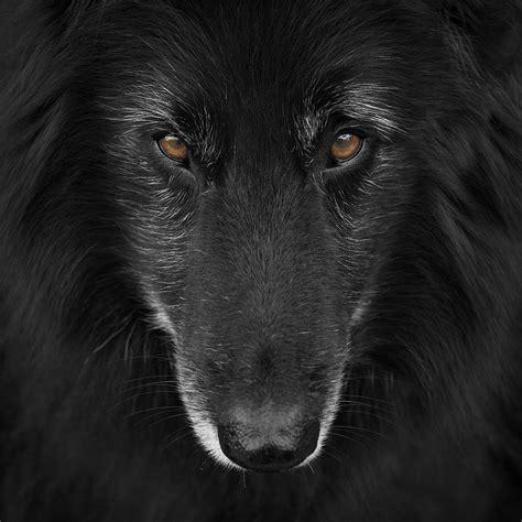 belgian shepherd groenendael belgian shepherd groenendael 4 photograph by wolf shadow photography