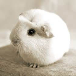 Guinea pigs cute guinea pigs and pigs on pinterest