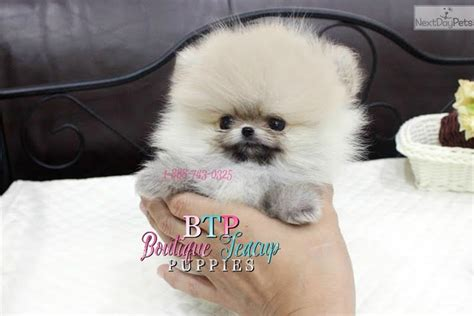 pomeranian for sale houston micro teacup pomeranian lil chopper available white pomeranian for sale in