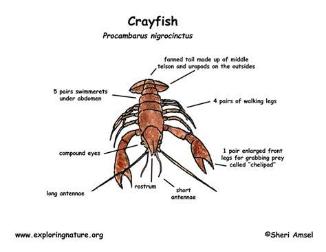 diagram of crayfish crayfish