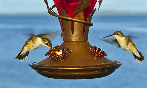 What Is A Feeder File Hummingbirds At Feeder Jpg Wikimedia Commons