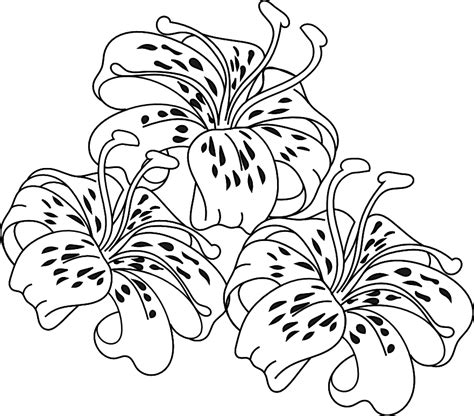 tiger lily coloring page stargazer lily coloring pages