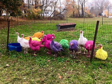colored turkey colored turkeys the hit of connecticut turkey farm abc news