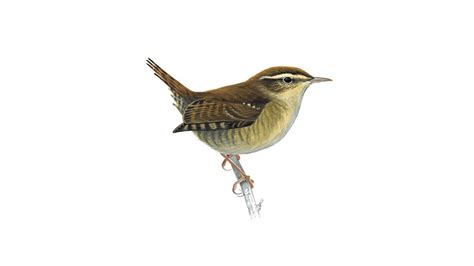 wren bird facts troglodytes troglodytes the rspb