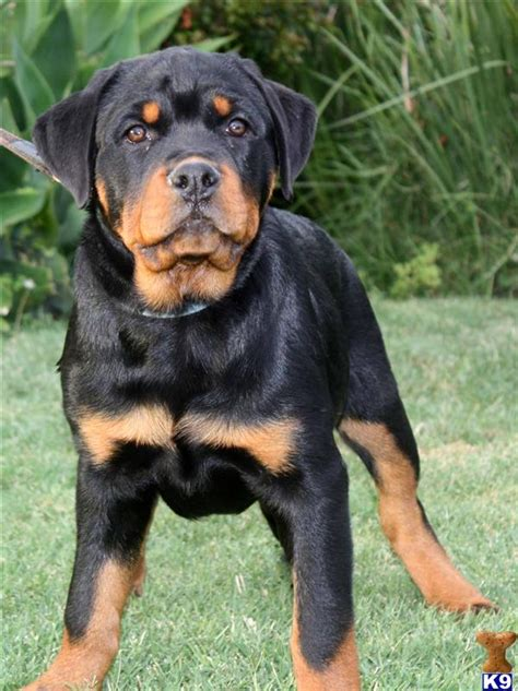 rottweiler puppies for sale in indianapolis standard poodle puppies for sale in indiana