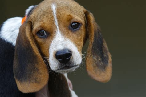 beagle puppies san diego beagles rescued from puppy mill arrive at encinitas shelter the san diego union tribune
