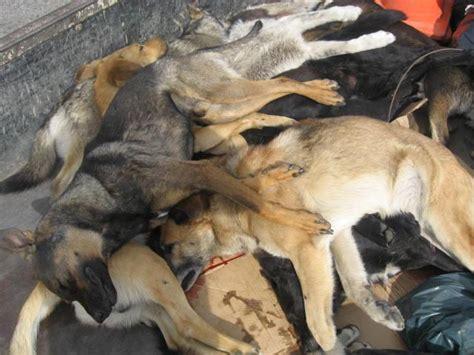 imagenes animales muertos hallan 160 perros muertos por envenenamiento en argentina