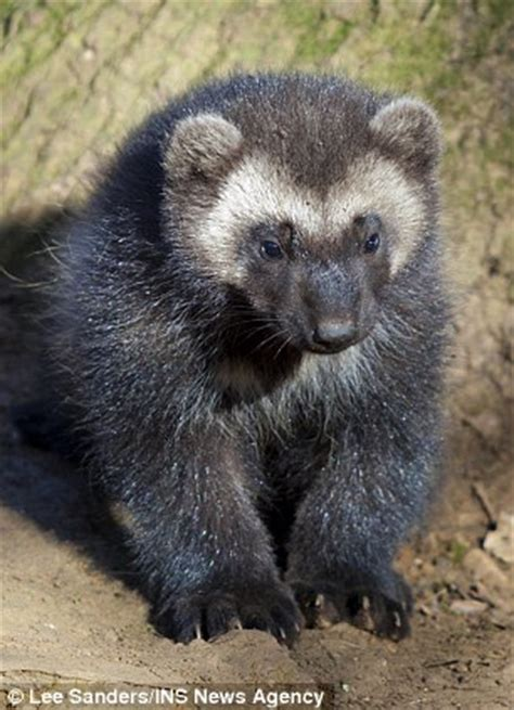 sit up and take note! trio of wolverine cubs make debut