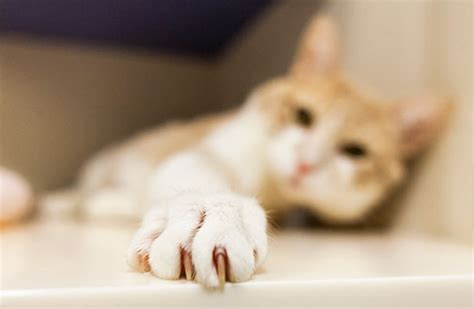 Why Do Cats Paw At The Floor by Cat Grooming Tips Aspca