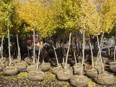 root balled trees bare root trees to stretch your landscaping budget