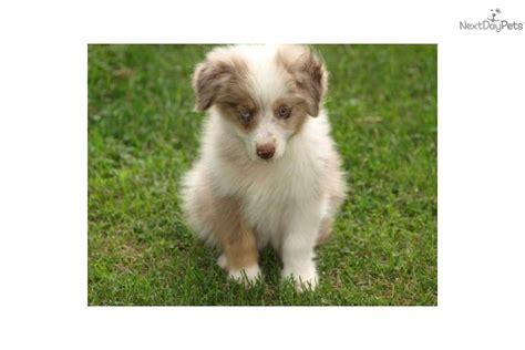 golden retriever puppies for sale in omaha ne miniature australian shepherd puppies for sale in nebraska