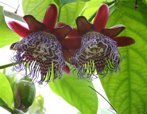 passiflora til stue og vinterhave
