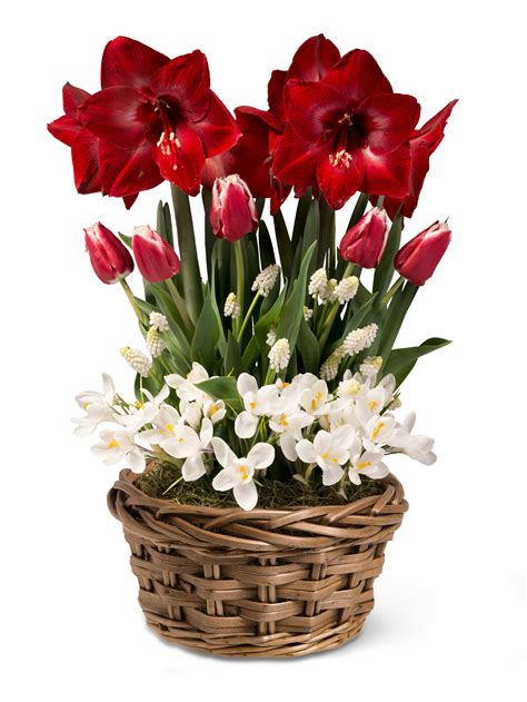 red amaryllis  tulips december blooms basket