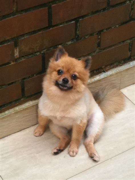 pomeranian hair loss treatment pictures the above pictures are photos of a pomeranian with breeds picture