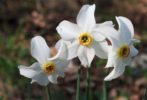 fiori narciso fiori narciso fiori di piante caratteristiche