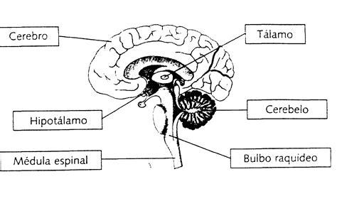partes del bulbo raquideo sistemanervioso
