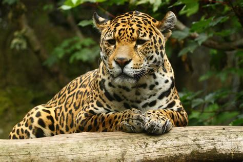 imagenes wallpaper de animales jaguar en la selva hd 2376x1584 imagenes wallpapers