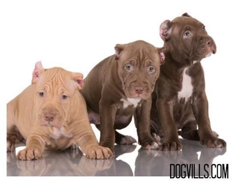 how to your pitbull puppy how to include your pitbull puppy in your wedding dogvills