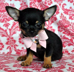 dogs that don t grow best 25 baby chihuahua ideas on chihuahua puppies teacup chihuahua and