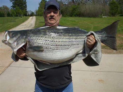 Ga Records New Sc And Ga State Record Striped Bass