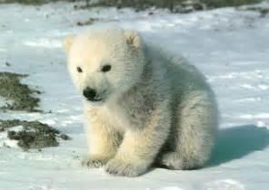 animal free wallpapers animal white bear desktop wallpapers