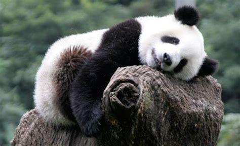 Koper Panda 24 nekatere ogrožene živali si bodo morda opomogle bodi eko