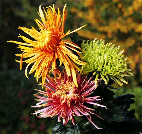 fiori crisantemi crisantemi foto immagini piante fiori e funghi fiori