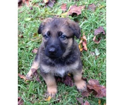 baby german shepherd for sale germanshepherd for sale puppies for sale