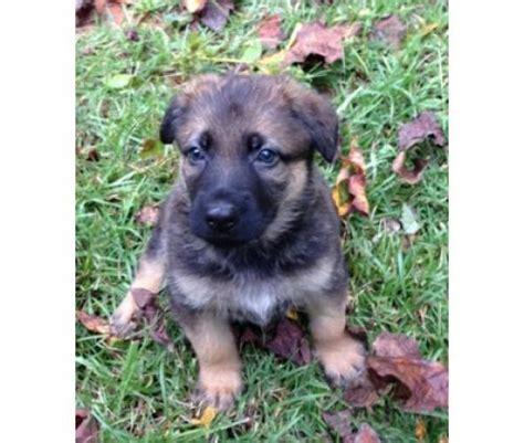 german shepherd puppies for sale in sc germanshepherd for sale puppies for sale
