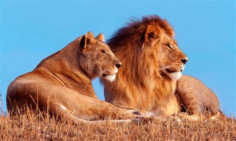 imagenes leones y leonas taxonom 237 a de los leones