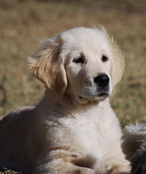 golden retrievers australia national golden retriever council golden retrievers australia