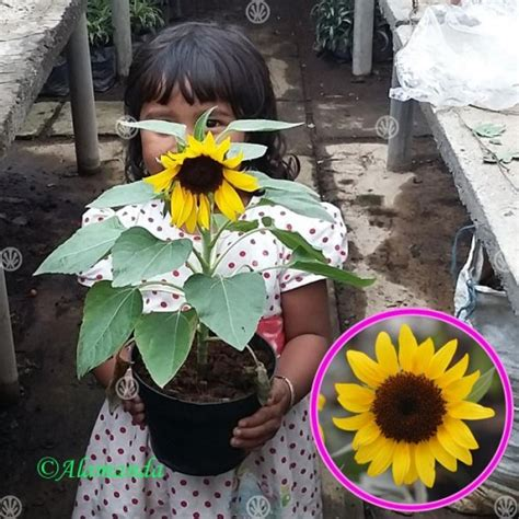 Biji Bunga Matahari Mini jual tanaman bunga matahari mini hp 085608566034