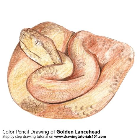 gold color pencil golden lancehead colored pencils drawing golden