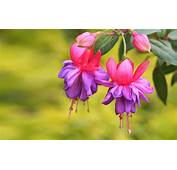 Fuchsia Flower Bushes Beautiful Red And Purple
