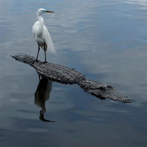 the birds and other 03 birds and gators help each other in florida s wetlands university of florida news