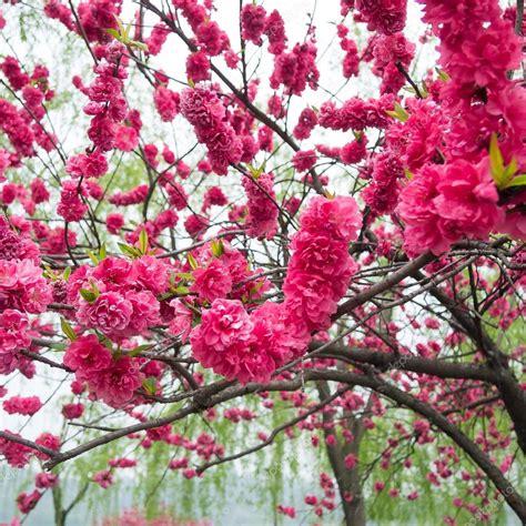 alberi di pesco in fiore alberi di pesco in fiore foto stock 169 simplebe 117827858
