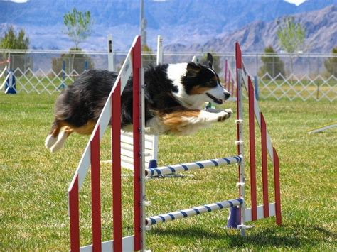 puppy agility agility for dogs basic tips and tricks