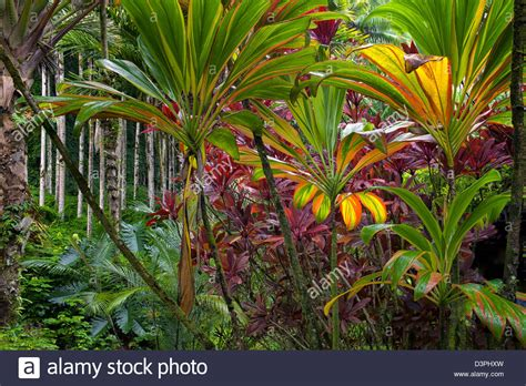 Botanical Garden Plants Ti Plants Hawaii Tropical Botanical Gardens Hawaii The Big Stock Photo Royalty Free Image