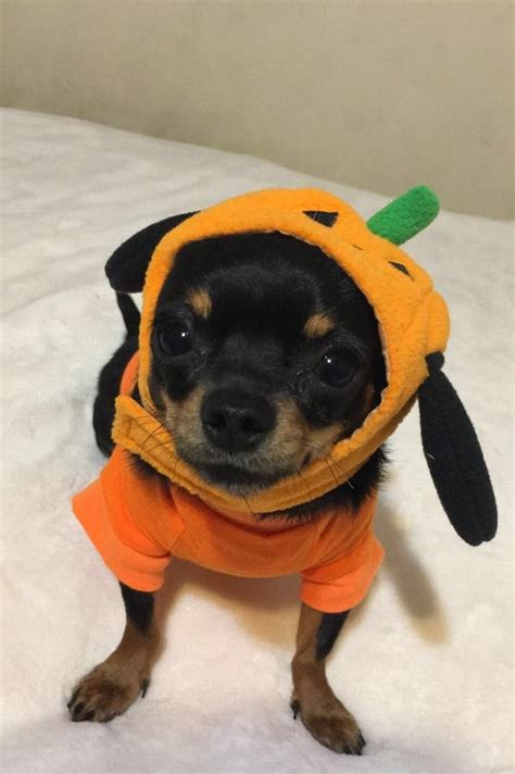 pug pals boise pumpkin hat by dogo with same day shipping baxterboo