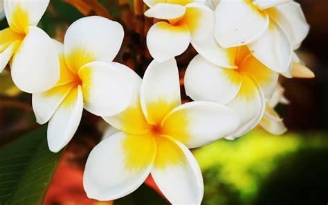 Hawaiian Flowers by Flowers Hawaiian Flowers